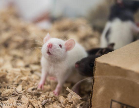 White Rats
